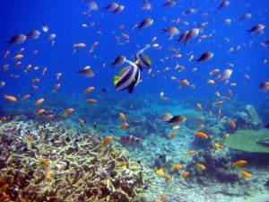 Reef fish swimming over corals
